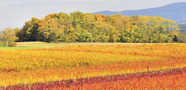 vignes automne - Vignoble PERRAS