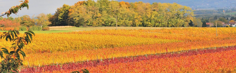 panoramique vigne automne - Vignoble PERRAS
